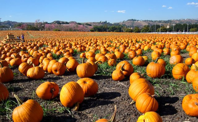 CPP pumpkin patch