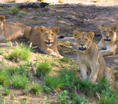 Photo of 4 lions