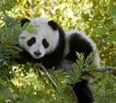 Photo of a panda on a tree