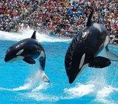 Two killer whales jumping out of the water at a show