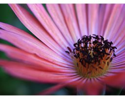Closeup of a pink daisy