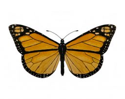 Illustration of a monarch butterfly